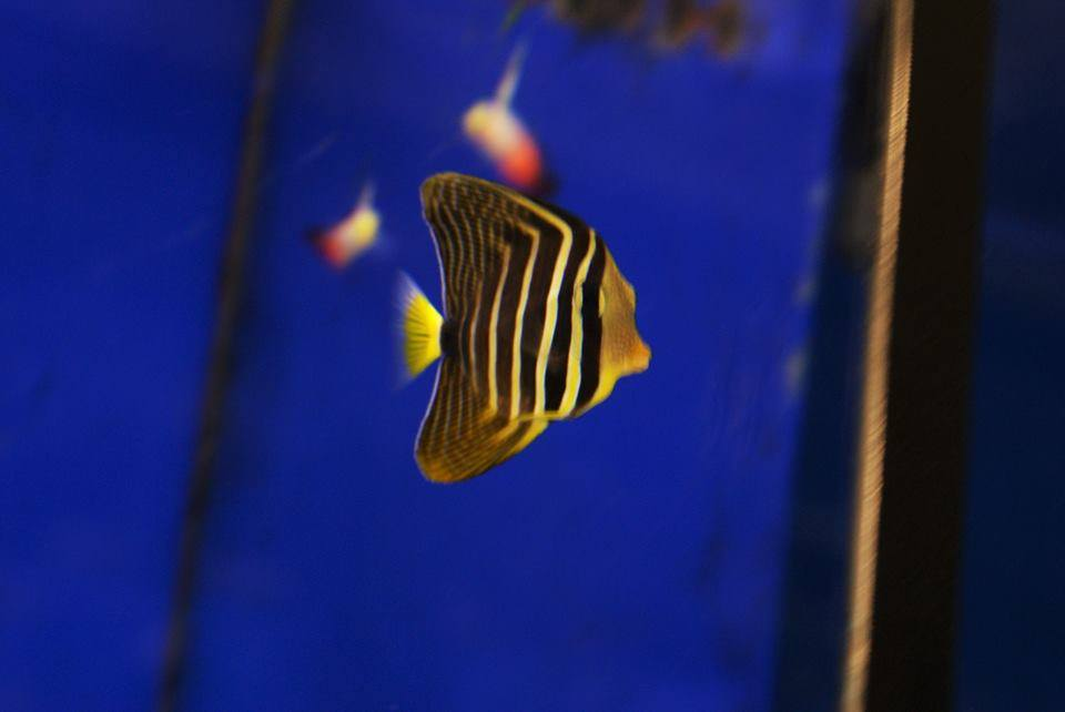 exotic fish with stripes